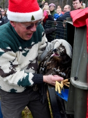 Bald Eagle released at Natural Chimneys